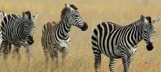 Tanzania Wildlife Safari (Moshi / Lake Manyara / Serengeti)